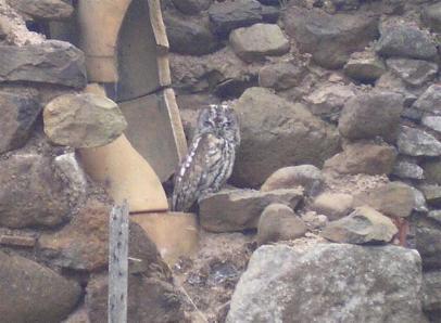Owl in chimney stack