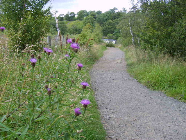 Greater Knapweed by the Tees