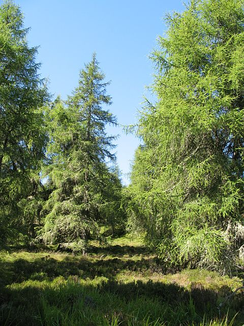 Larch woods, Lord Arthur's Hill