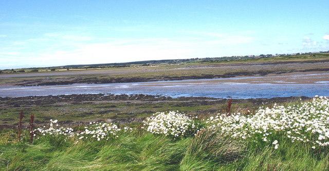Llygad Llo Mawr ar Ynys Lwm. Ox-eye daisies on Ynys Lwm