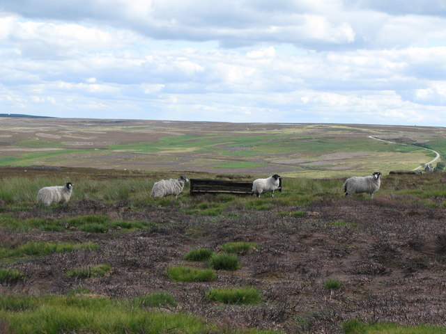 Grouse butts below Harehope Hill