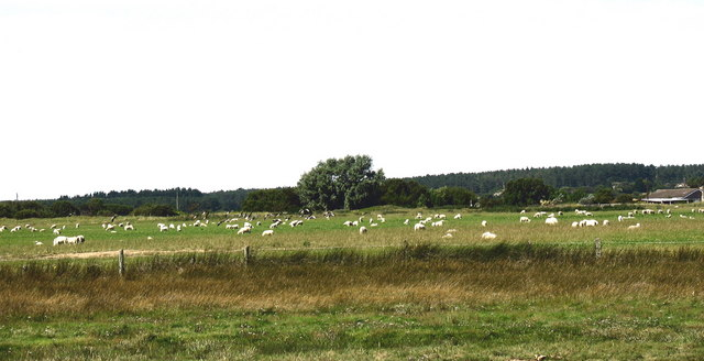 Sheep on the north side of Afon Braint estuary