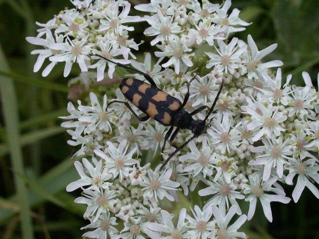 Longhorn beetle (Leptura quadrifasciata)
