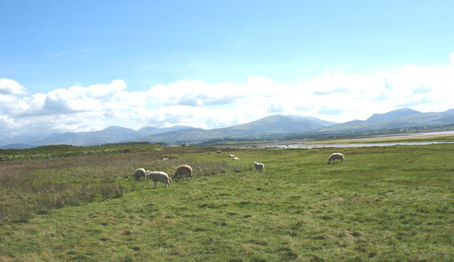 Grazing sheep on the estuarine marshes of Afon Braint