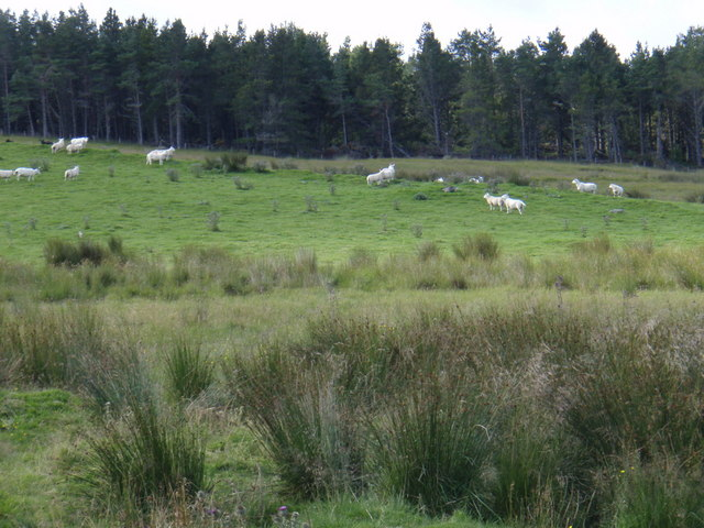 Braemore farm sheep