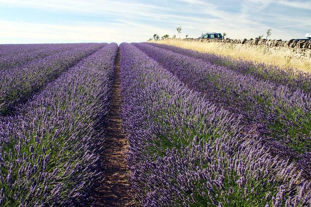 Hill Barn Farm Lavender Fields