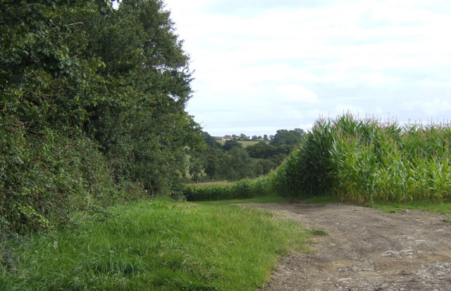 Maize crop near Weston Farm
