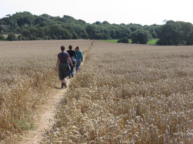 Public footpath through corn field
