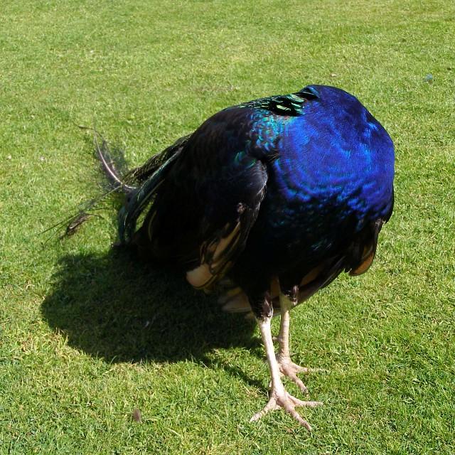 Headless peacock, Trevarno gardens