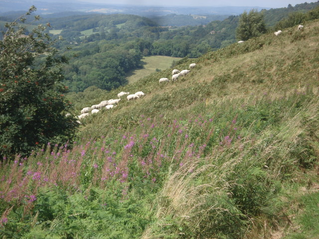 Sheep on Perseverance Hill