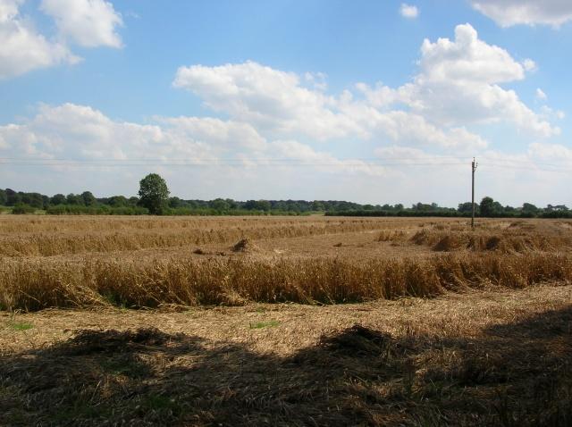 Wheat from Brafferton bridleway