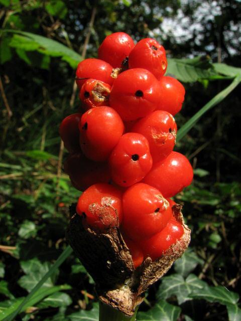 Lords and Ladies (Arum maculatum) - detail
