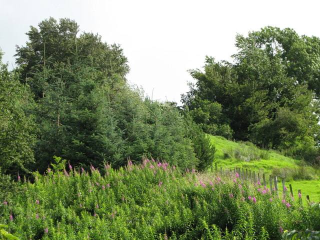 Foxgloves and woods near the River East Allen