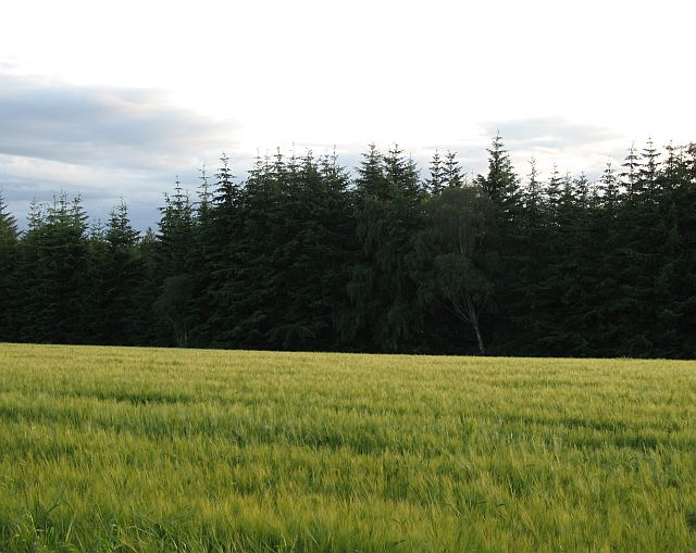 Barley field, Carnach