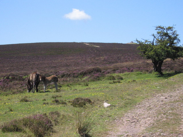 Meeting with Exmoor ponies