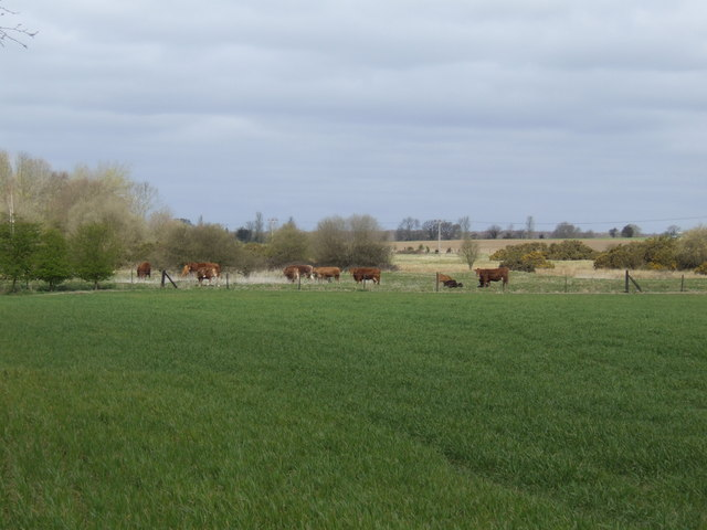 Beef cattle at Beckett End