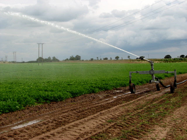 Irrigating a field of carrots