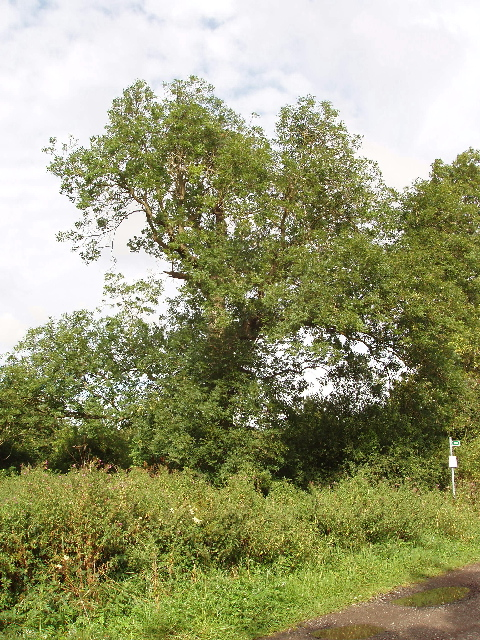 Ash tree, Bearshank Wood