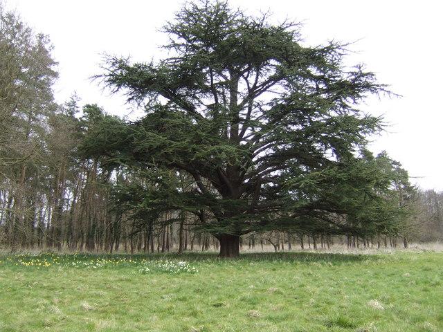 Cedar in Didlington Park