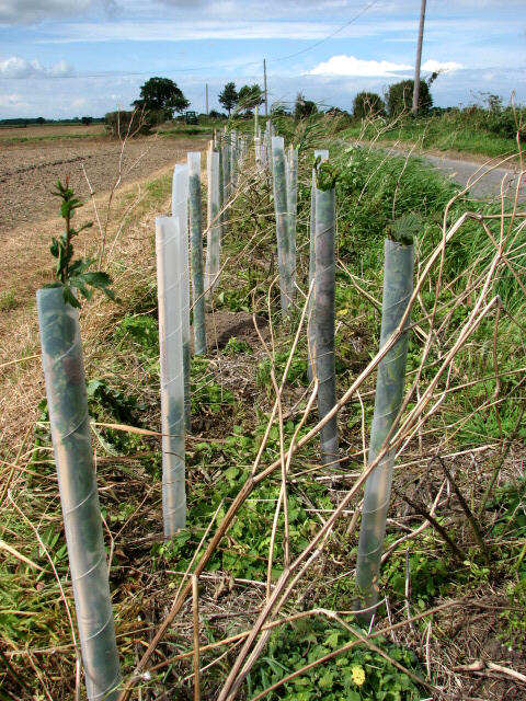 Hedgerow in the making