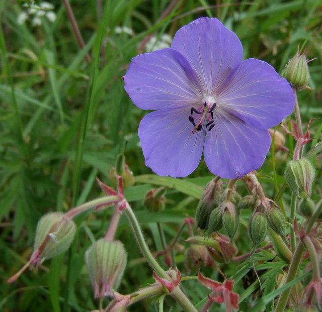 Meadow Cranesbill, Auchmithie