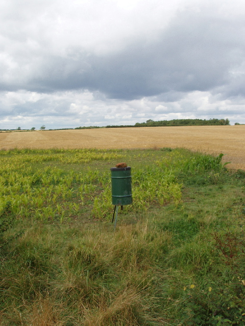 Maize for game birds, by wheat field