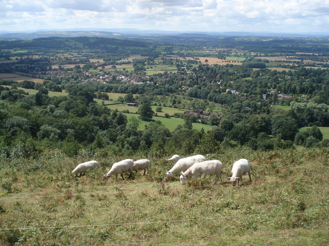 Sheep grazing on Perseverance Hill