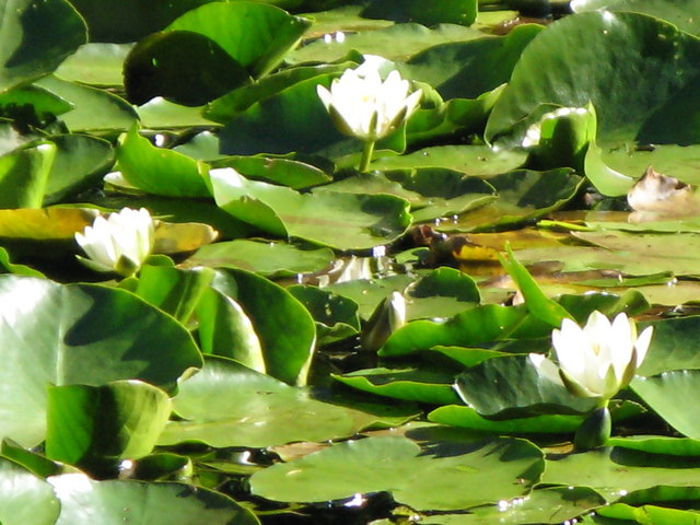 Water lilies on Morralee Tarn