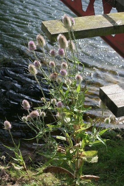 Teazels by the Footbridge