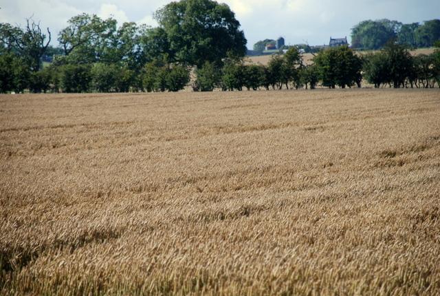 Barley field near Shilbottle Grange