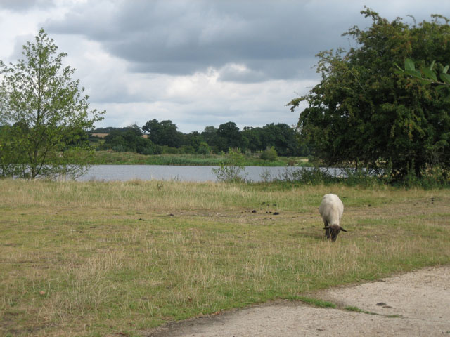 Sheep may safely graze beside the lakes of the Wensum