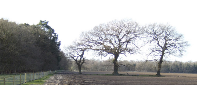 Oaks on the northern edge of the forest