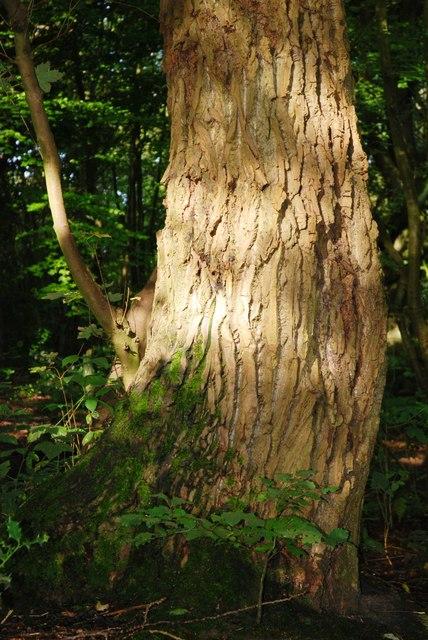 The Rough Bark of the Black Poplar Tree