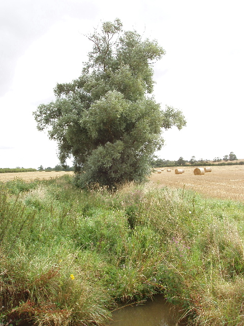 River Til and willow tree