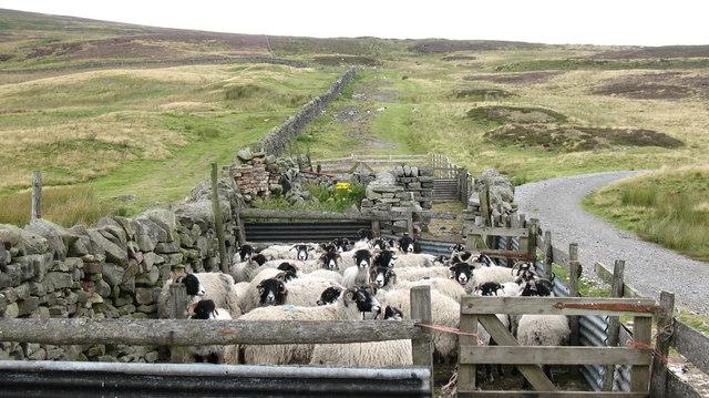 Sheep Pens above Eggleston