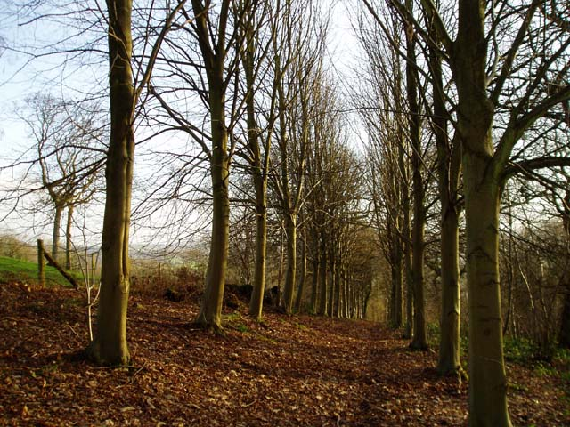 Tree lined woodland path in winter