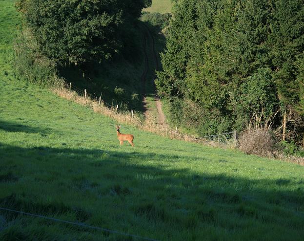 A deer at Swilletts Farm