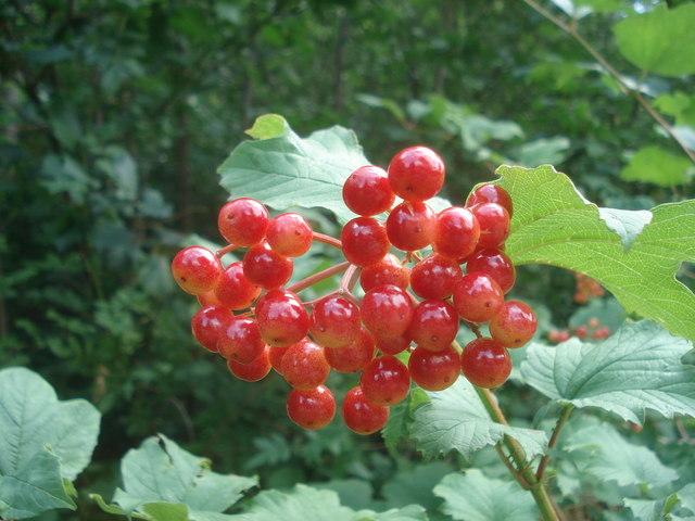 Guelder Rose in Queen's Wood