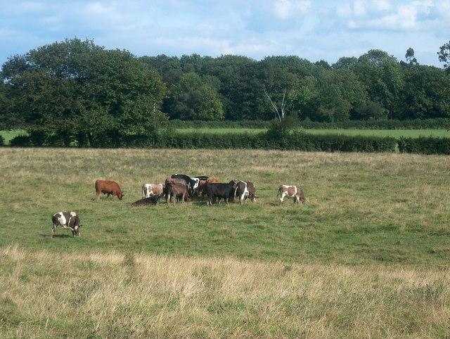 Bullocks in field at Pear Tree Farm