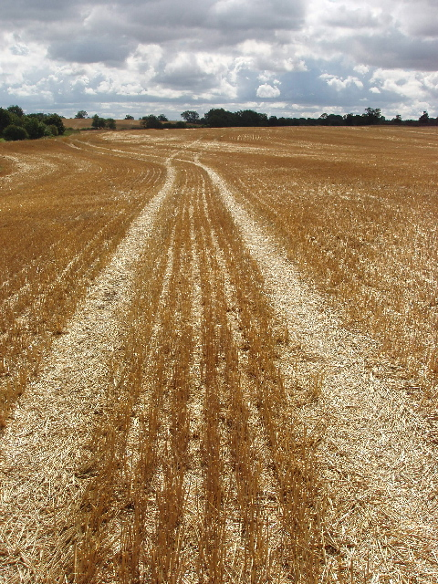 Stubble left after wheat harvest, Podington