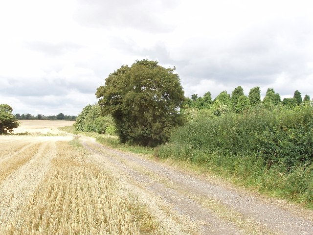 Hedged wheat field, spinney beyond, by Podington