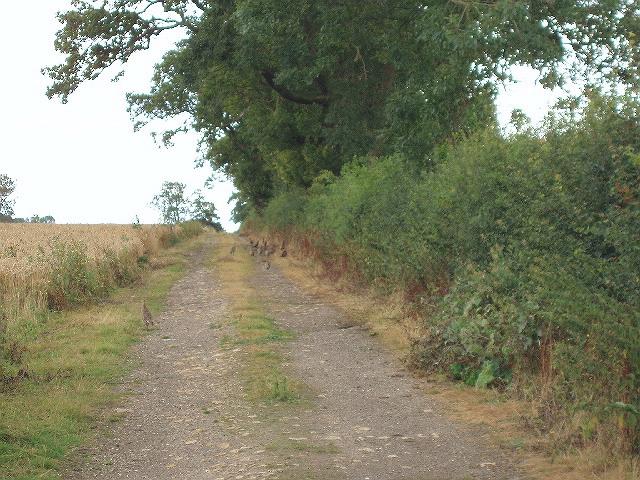 Pheasants near Hinwick Lodge Farm