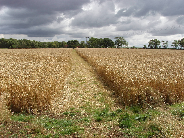Footpath through wheat to Hinwick Lodge Farm