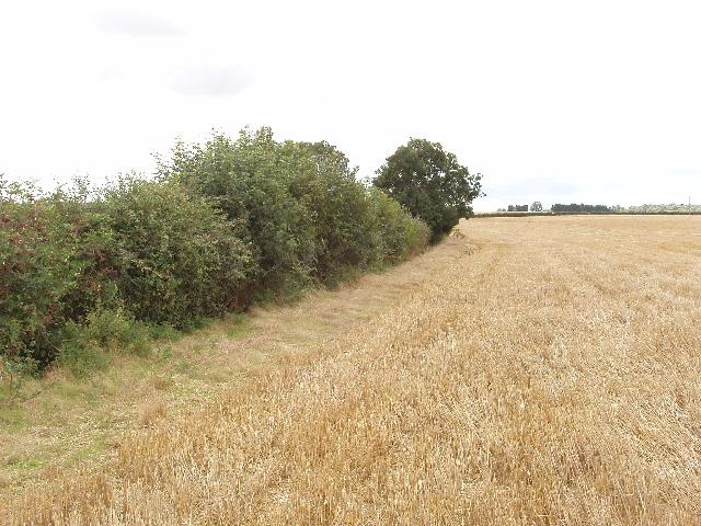 Wheat field near Harrold