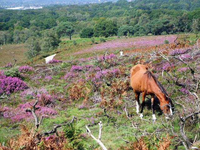 New Forest pony Grazing on Smugglers Way, Vales Moor
