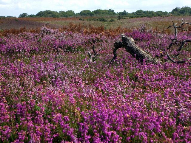Heather on Vereley Hill, Vales Moor