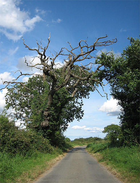Ancient oak on the way to Thurning