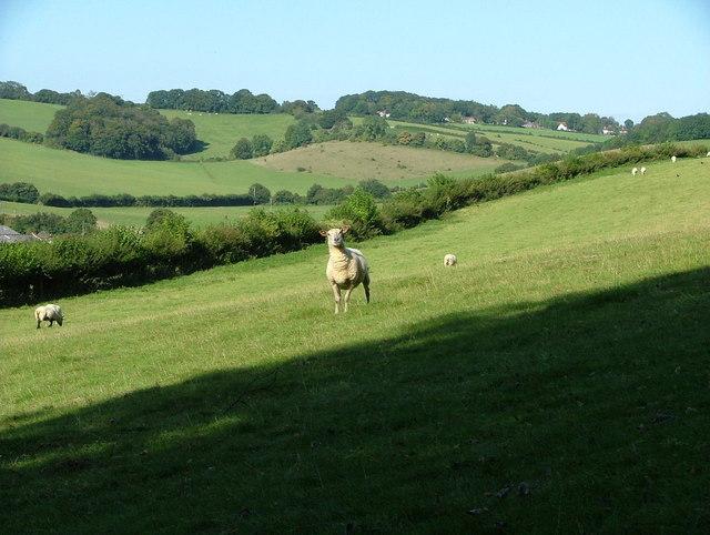 An inquisitive sheep