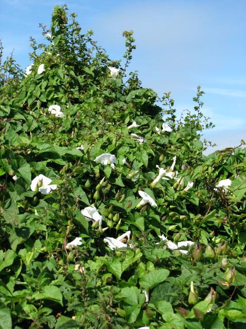 Hedge overgrown with Great Bindweed (Calystegia sepium)