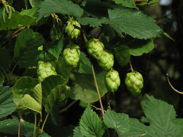 Hop (Humulus lupulus) vines on a hazel tree